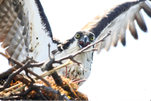 The Screaming Osprey